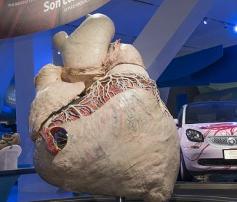 World's Largest Heart: 440 pounds (200kg) Heart Of A Whale Preserved In Museum